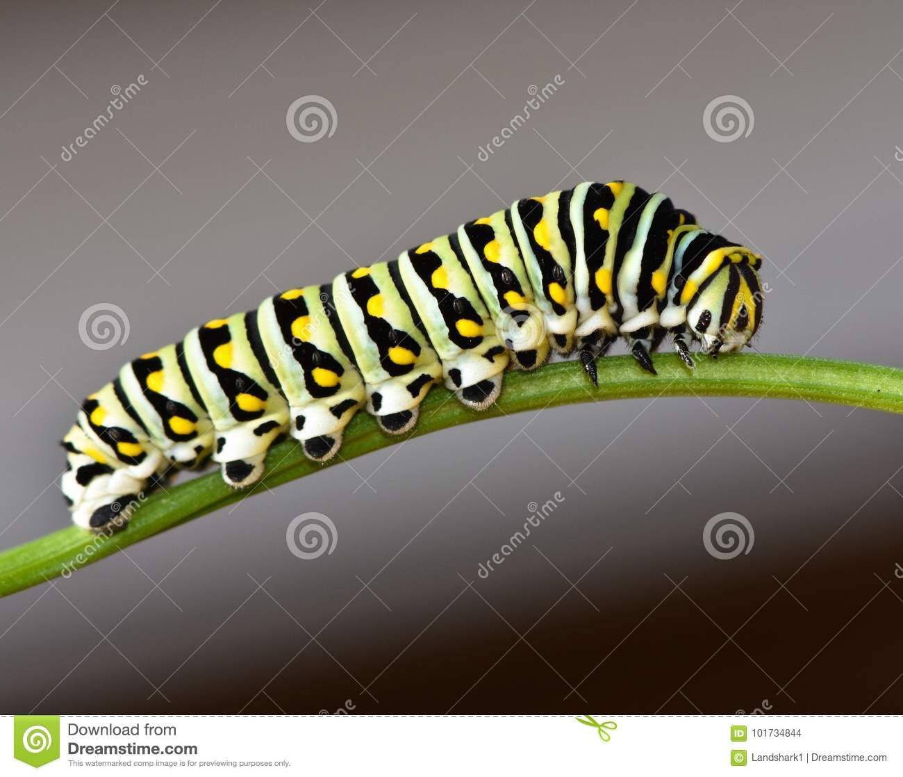 Schwarzes Swallowtail Caterpillar - Schmetterlingslarve
