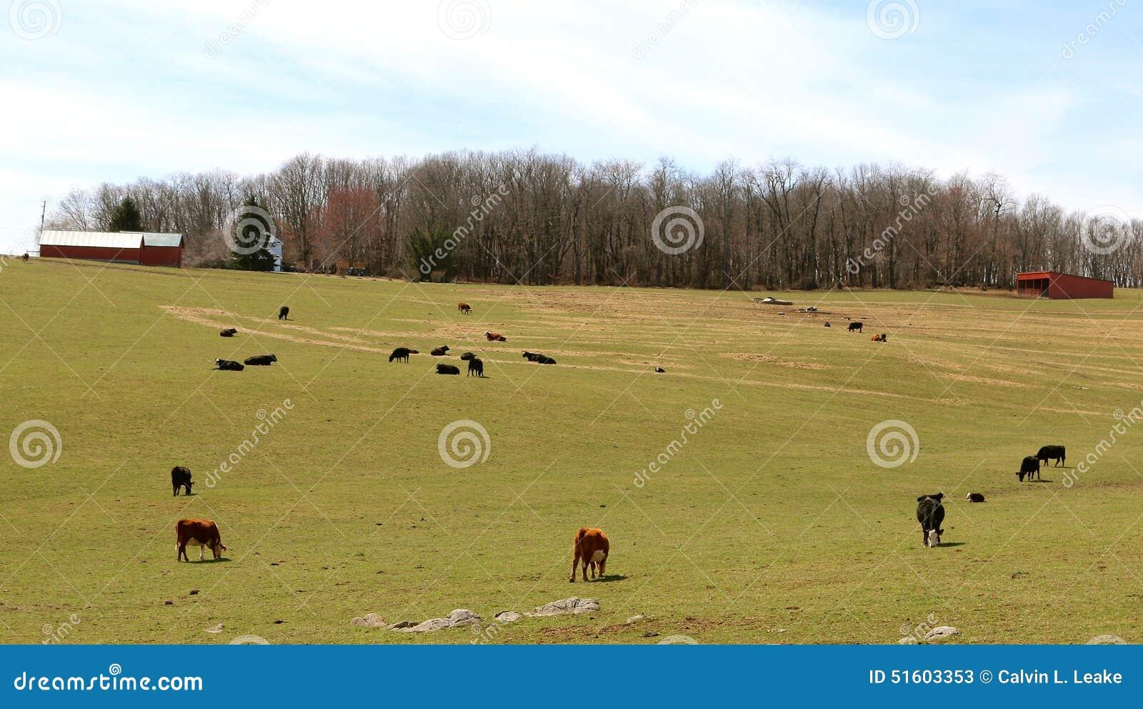 Schwarzes und Brown-Kühe Graze On ein Abhang
