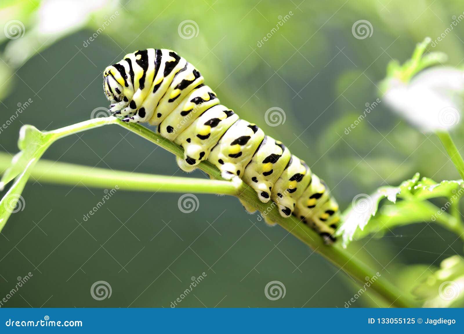 Schwarzes und gelbes Caterpillar auf einem Stamm