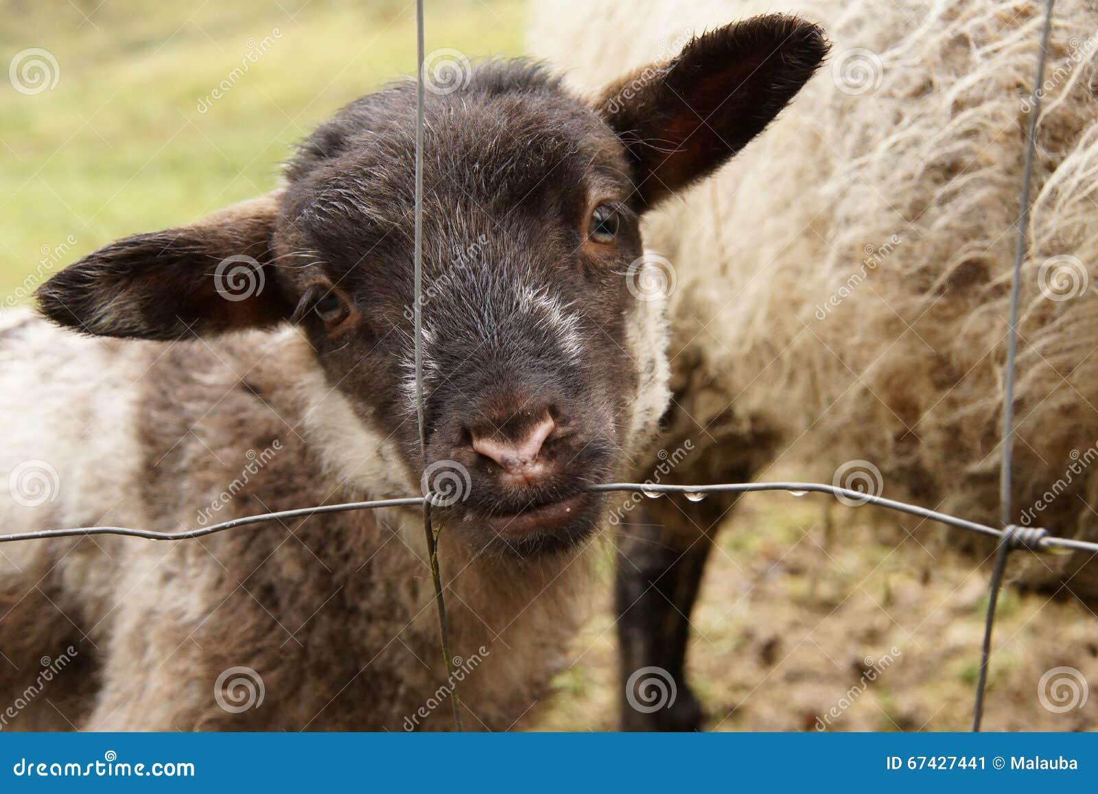 Schwarzkopfiges Lamm Das Tau Vom Zaun Saugt Stockbild Bild Von