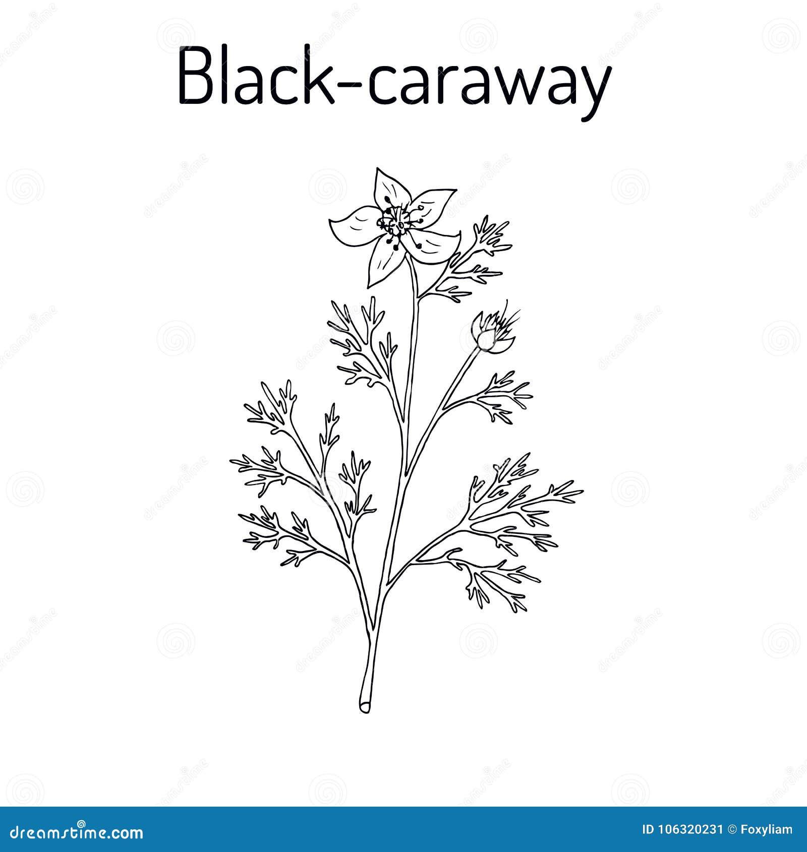 Schwarzkümmel Nigella Sativa, Heilpflanze