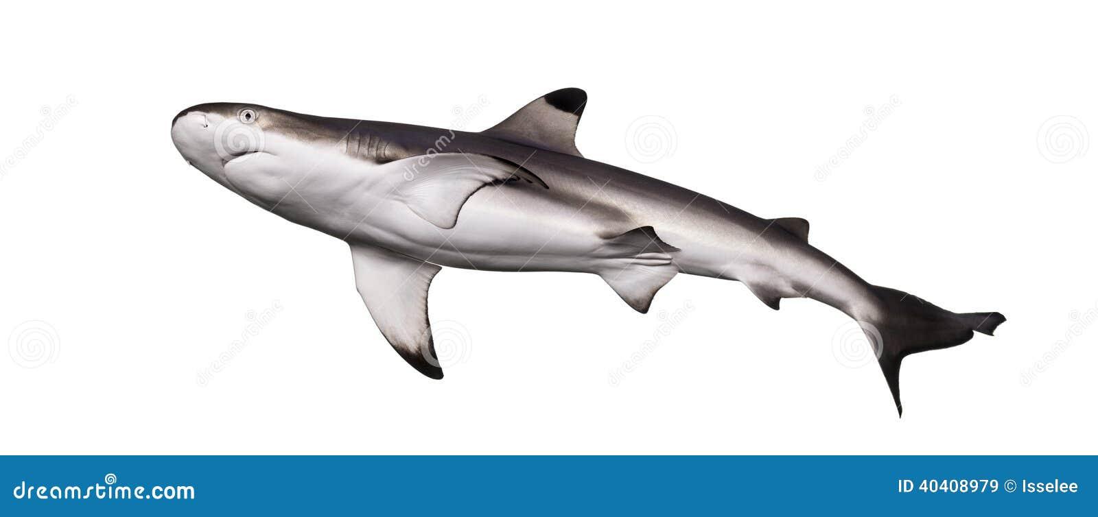 Schwarzspitzen-Riffhai von unterhalb angesehen