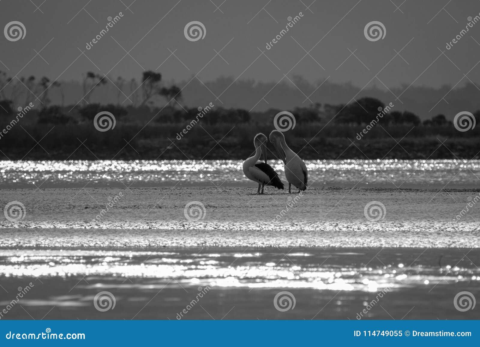 Schwarzweiss-Bild der schwermütigen Mündung mit Pelikanen