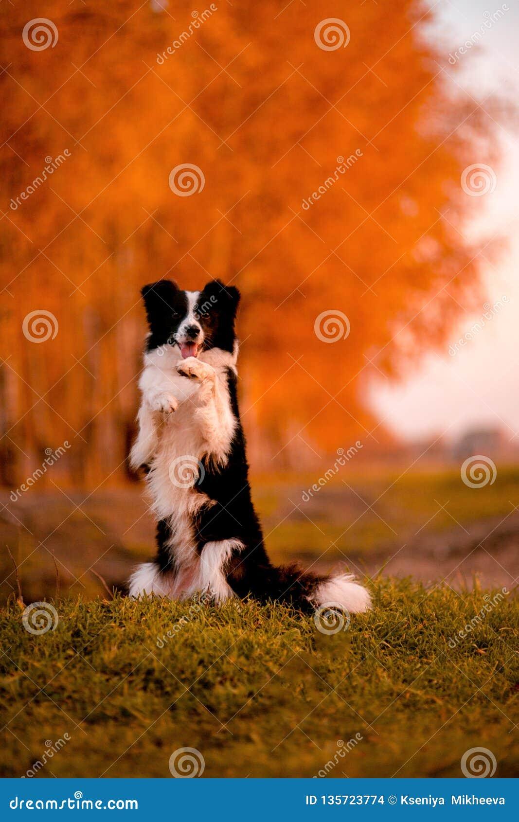 Schwarzweiss-Hund Border collie auf Gras bleiben Sonnenuntergang gelber Wald auf Hintergrund Herbst