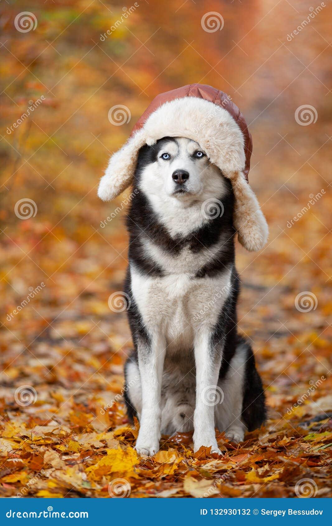 Schwarzweiss-Hund des sibirischen Huskys in einem Hut mit den earflaps, die im gelben Herbstlaub sitzen