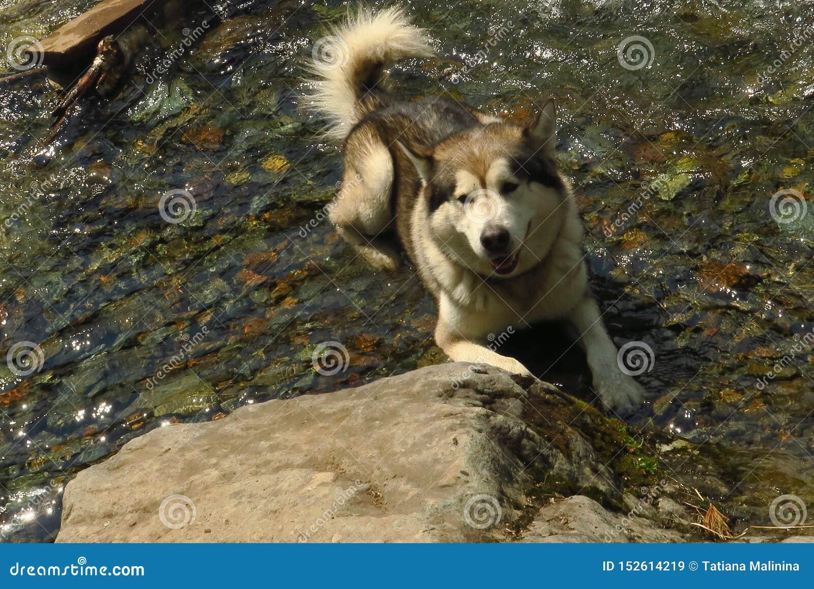 Schwarzweiss-Schlittenhund genießt, der Betrieb und umarmt im Wasser, stumm Schwimmender Schlittenhund
