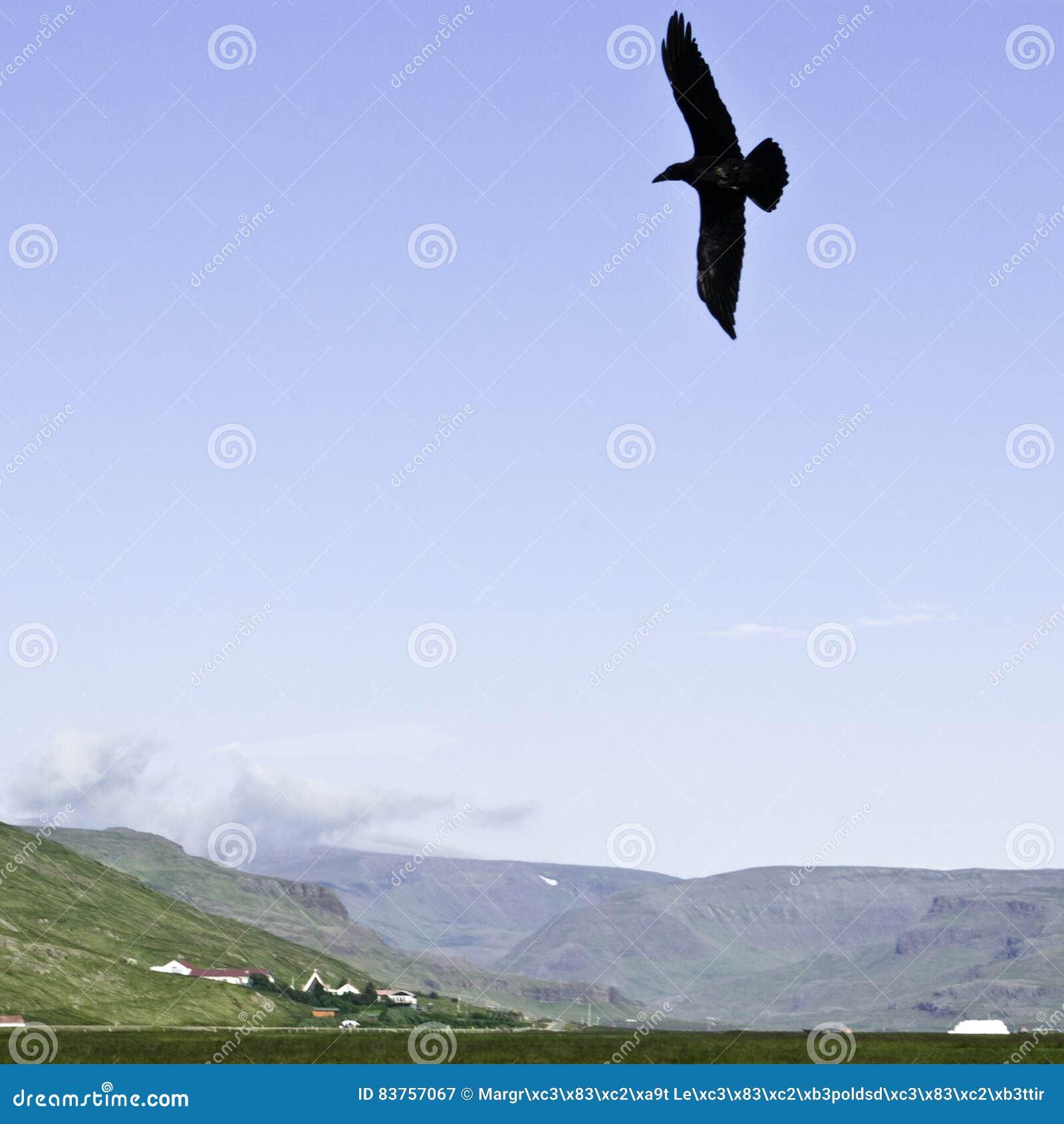 Schwebender Rabe in einem isländischen Tal