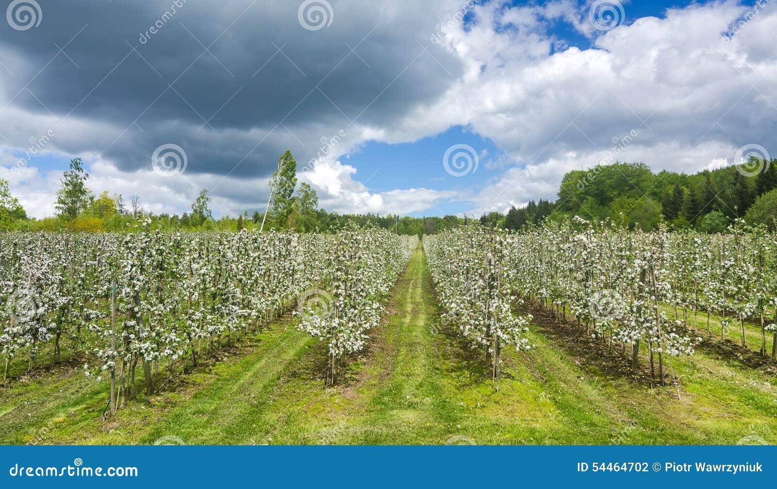 Schwedische Apfelplantage