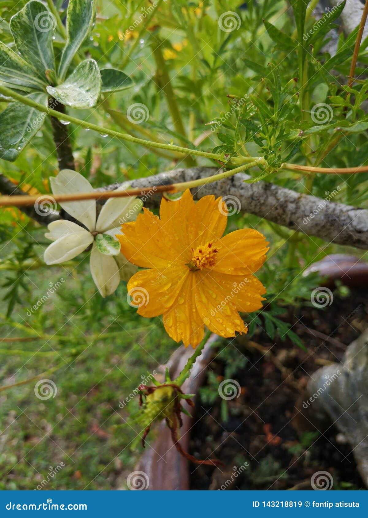 Schwefel-Kosmos or†‹gelbes Kosmos flower†‹