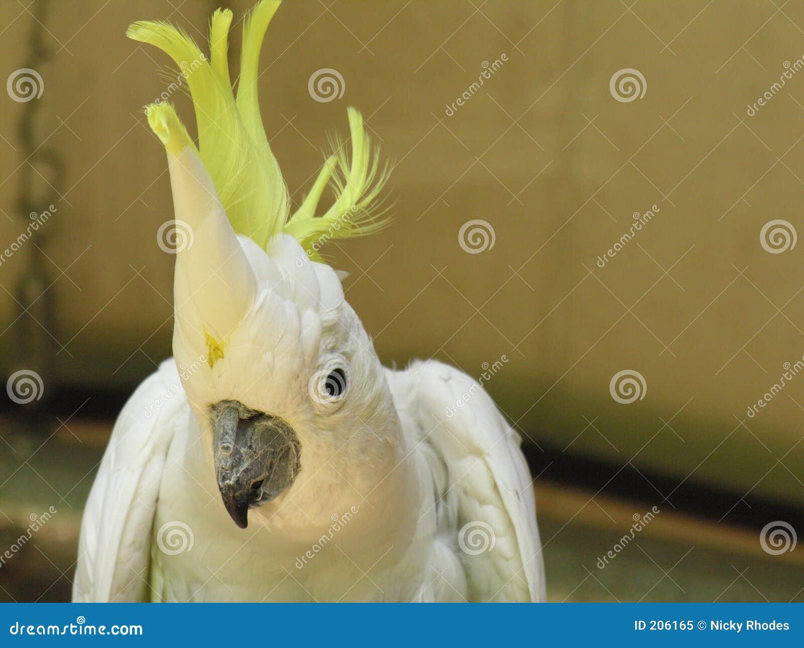 Schwefelmit haube Cockatoo