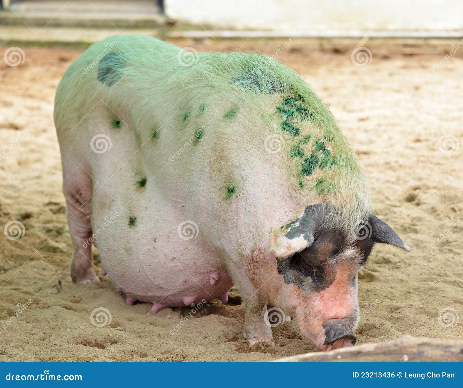 Schwein stockfoto. Bild von schlamm, bauernhof, speck