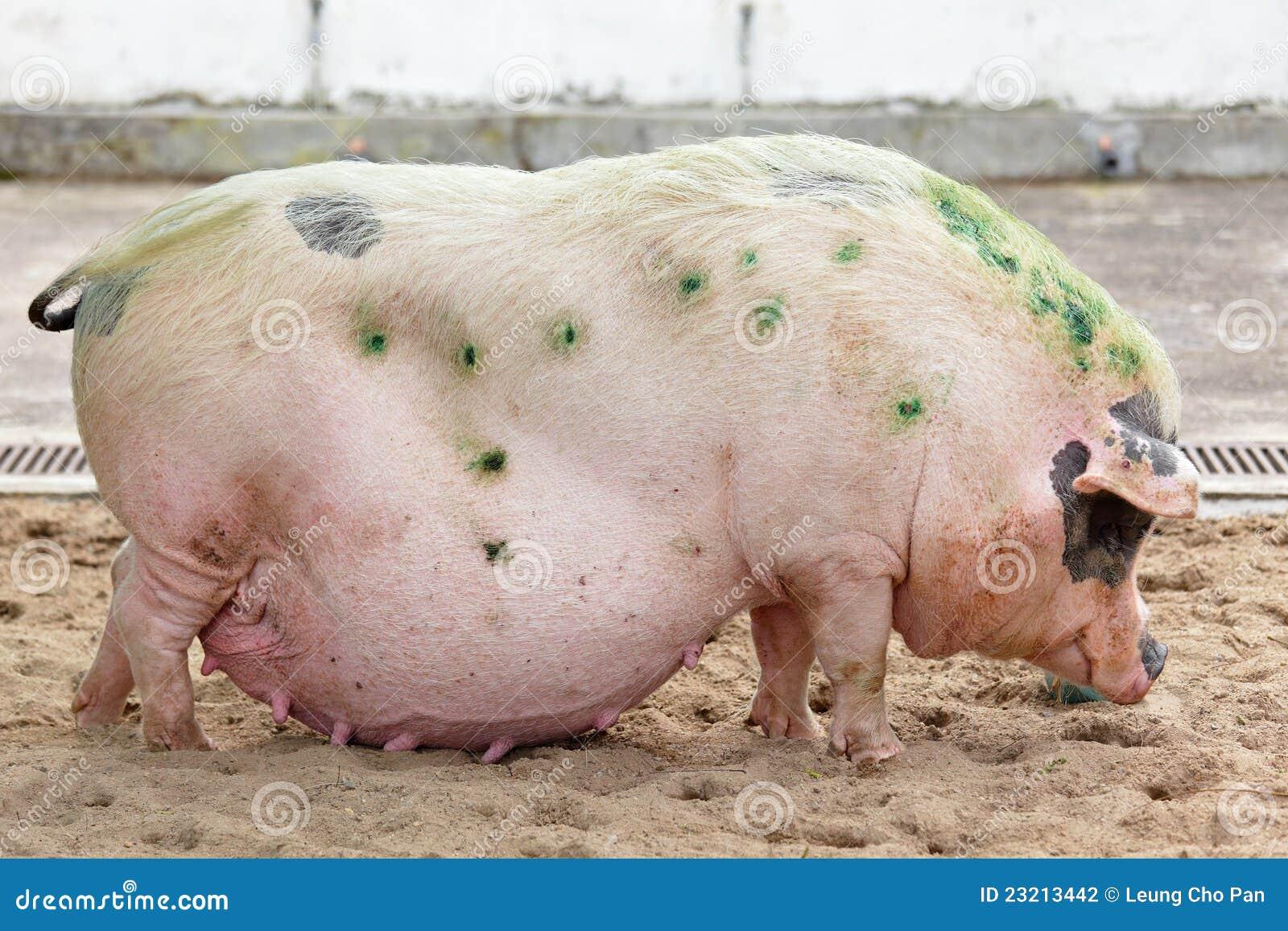 Толстый хряк и девушка 20 фотография