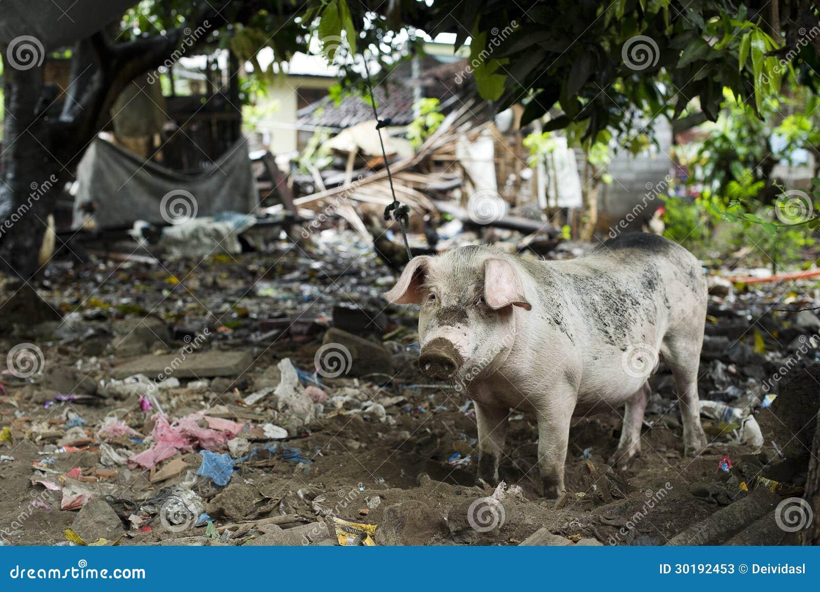 Schwein Im Schmutzigen Hinterhof Stockbild Bild Von