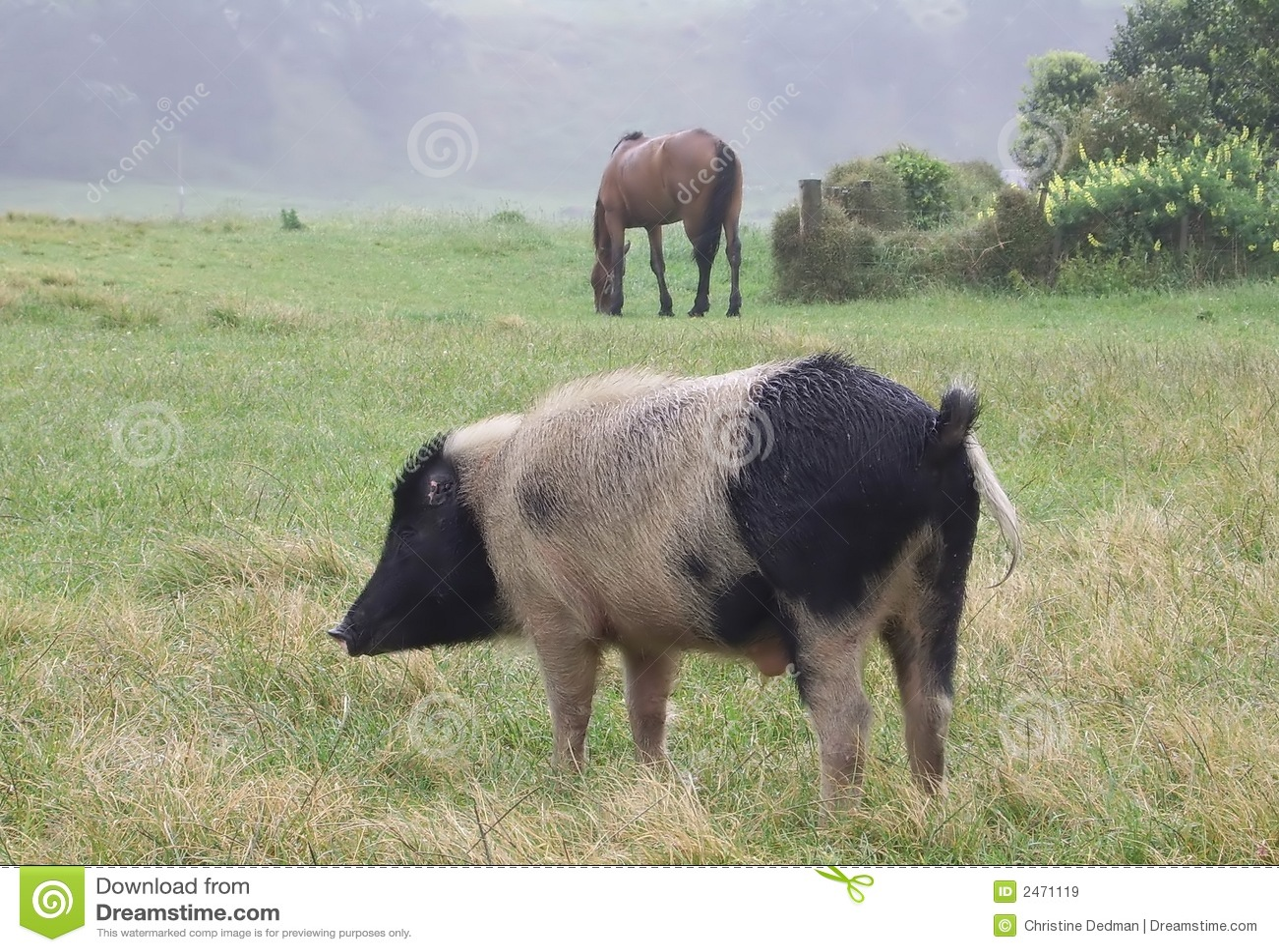 Schwein und Pferd