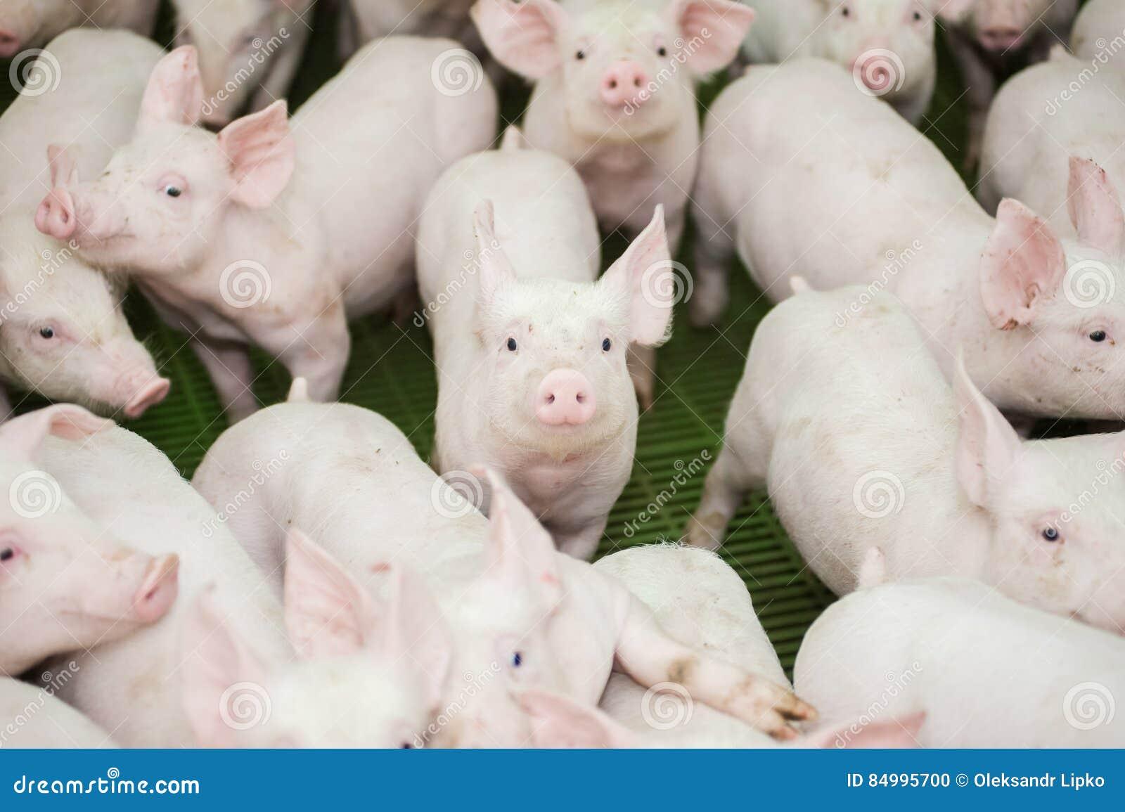 Schweinezuchtbetrieb Kleine Ferkel Schweinehaltung ist das Anheben und das Züchten von Hausschweinen