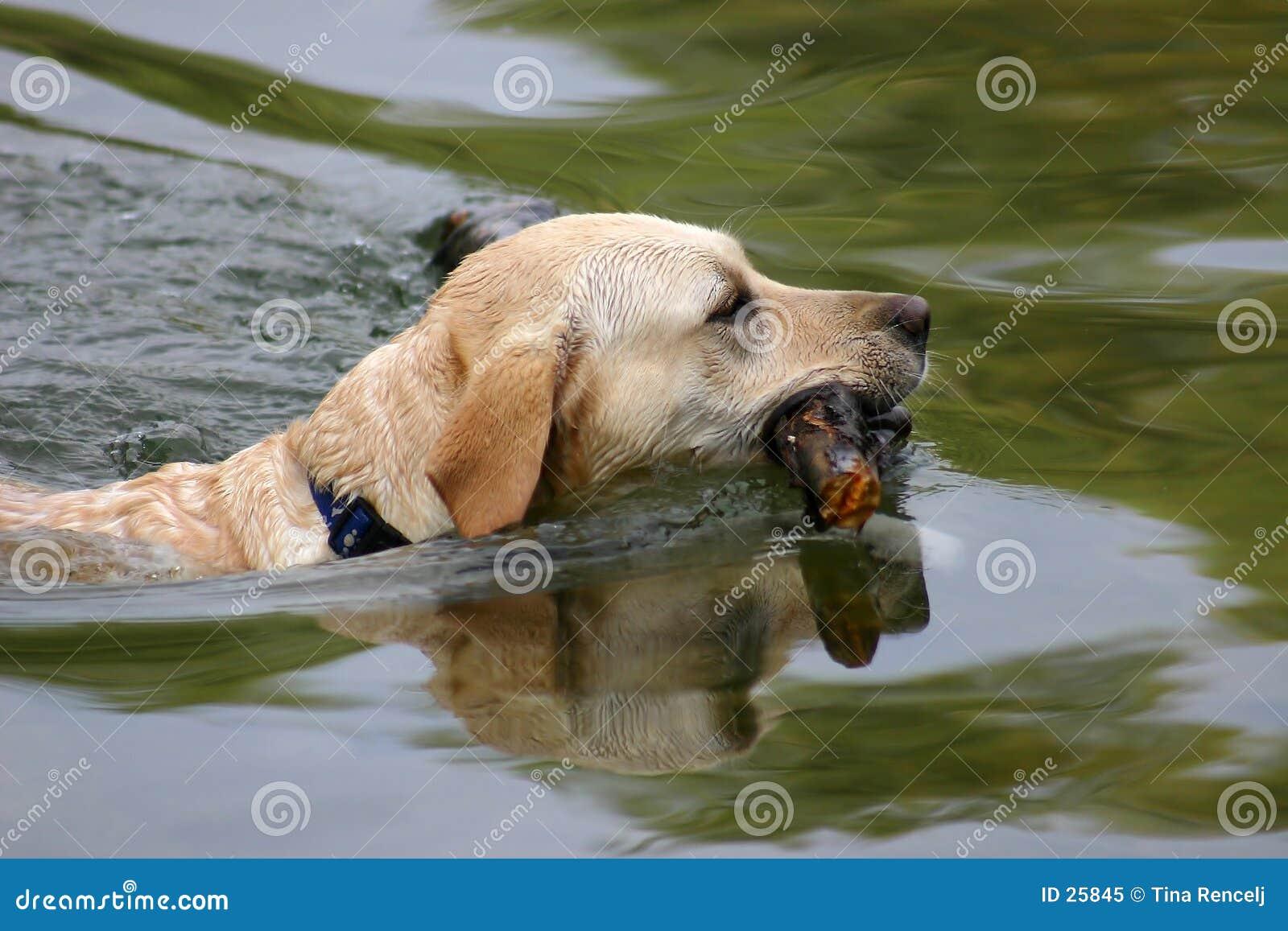 Schwimmen-Hund