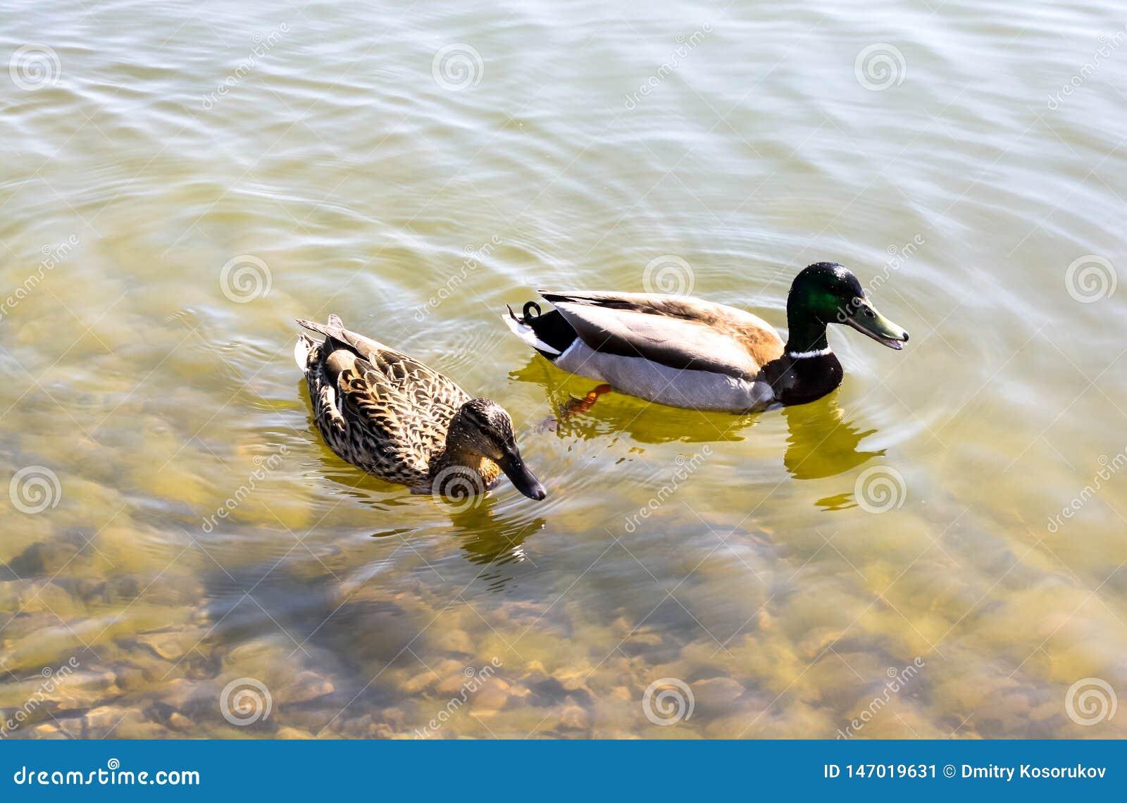 Schwimmen mit zwei Enten im Teich
