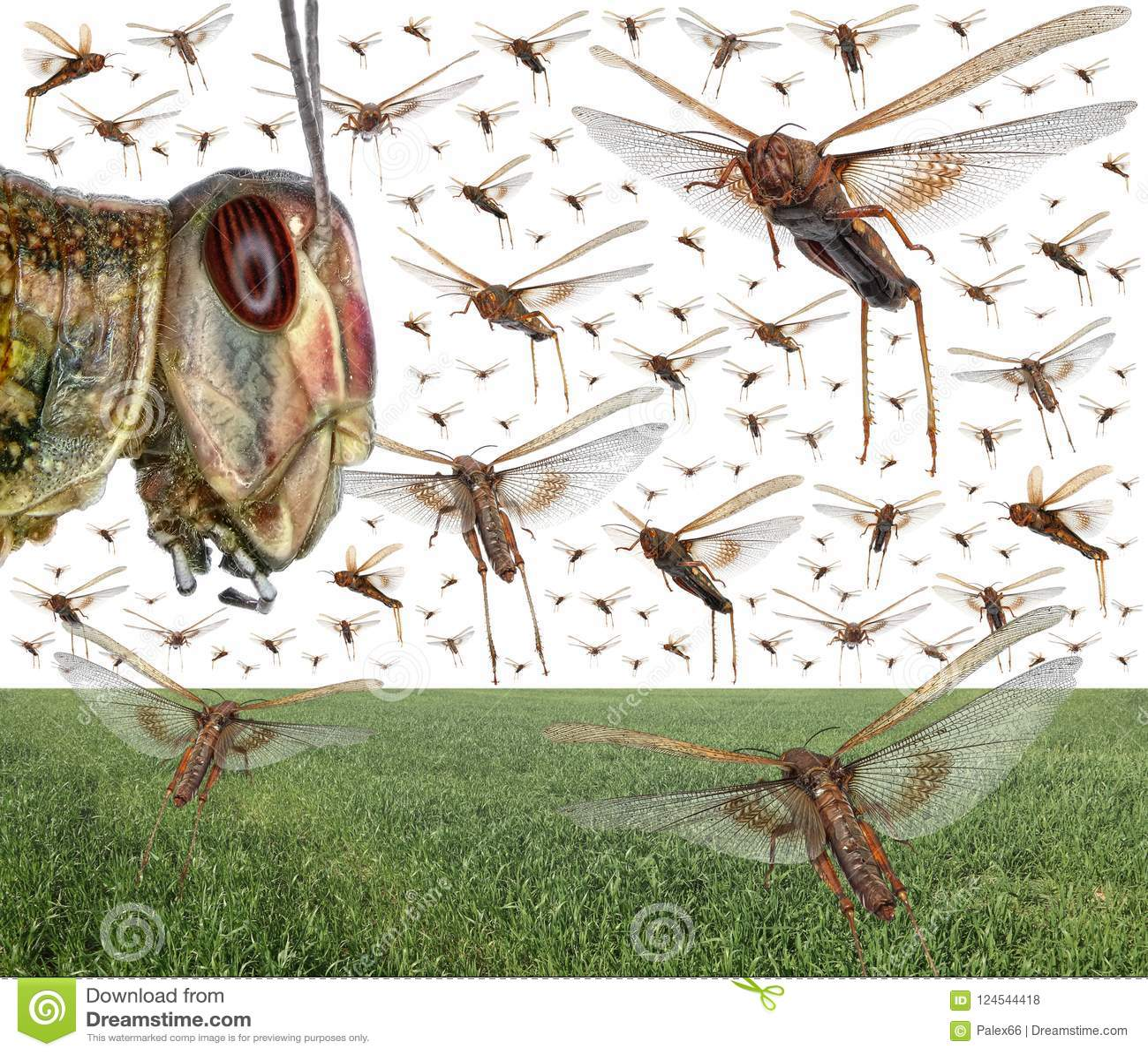 Sciame della locusta migratore
