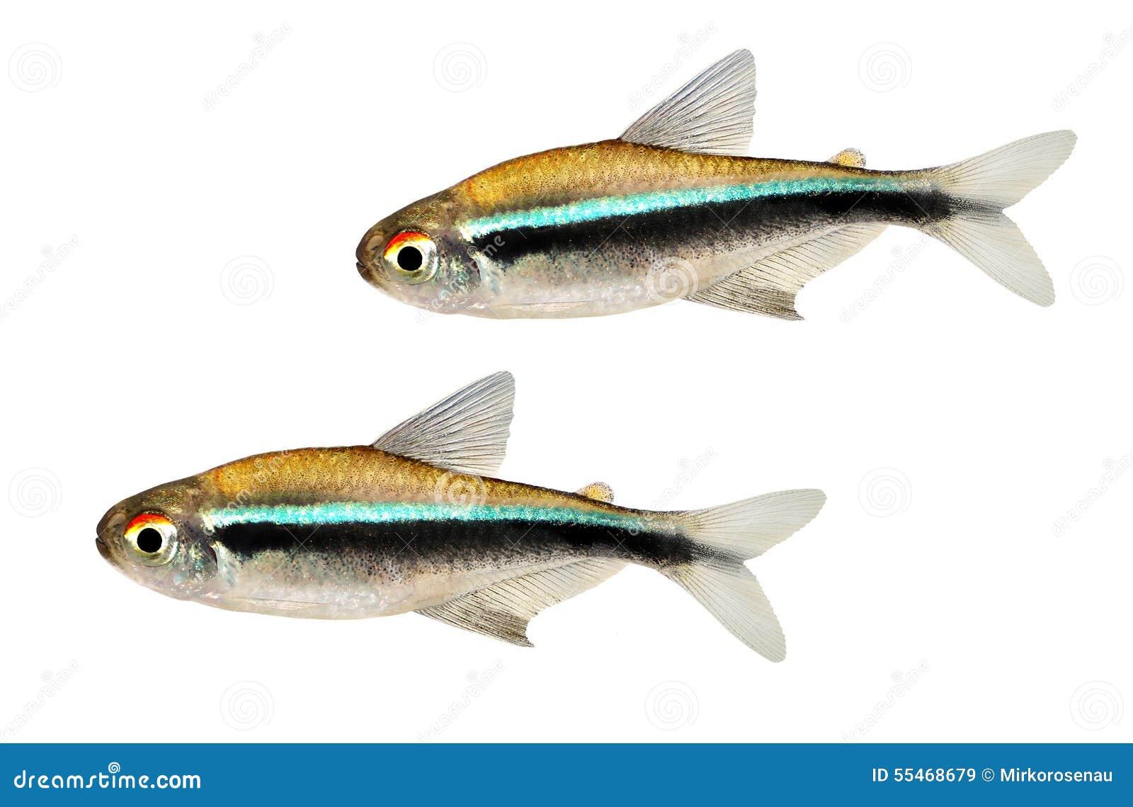 Sciame di tetra pesce al neon nero dell 39 acquario di for Acquario tetra