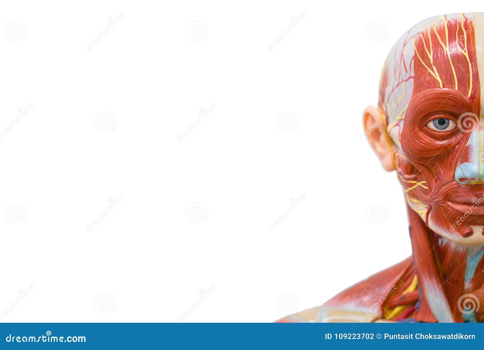 Science Background : Human Head Anatomy Model Stock Photo - Image of ...
