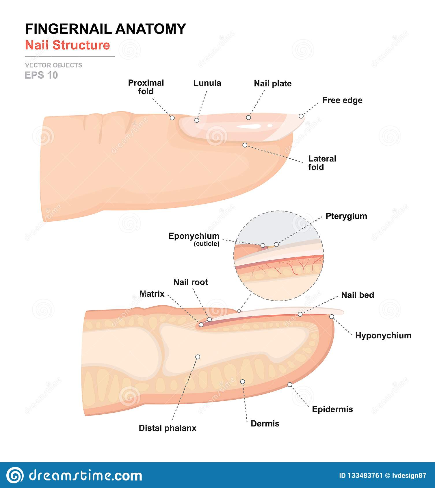 Science Of Human Body Anatomical Training Poster Fingernail