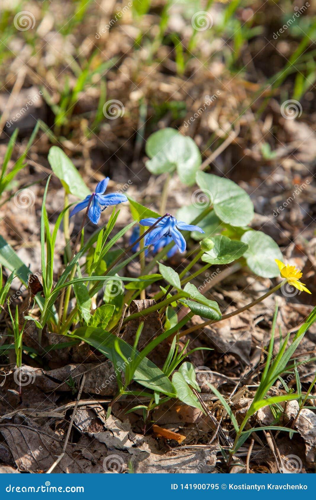 Fleur De Sous Bois Bleue scille sibérienne de siberica de scilla ou fleur bleue de