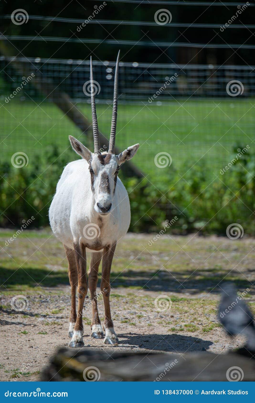 Scimitar-κερασφόρος oryx στάση