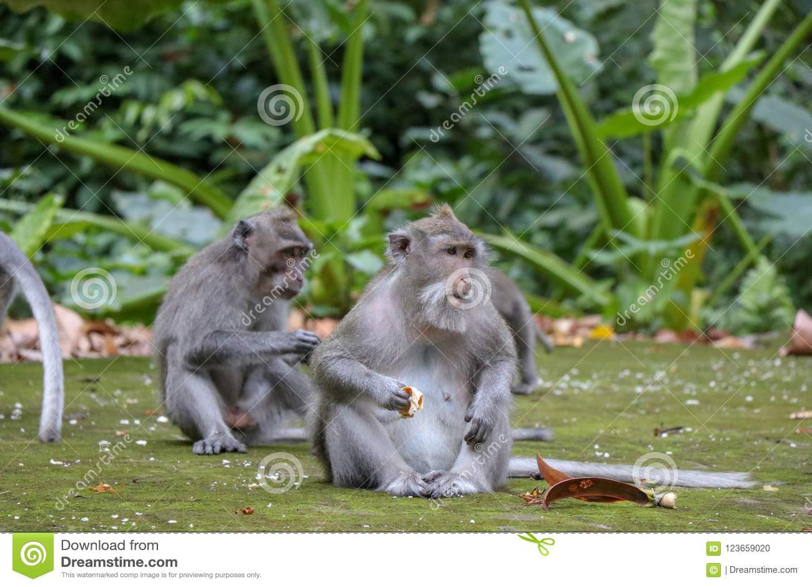 Scimmia a coda lunga di balinese alla foresta del tempio della scimmia, Ubud