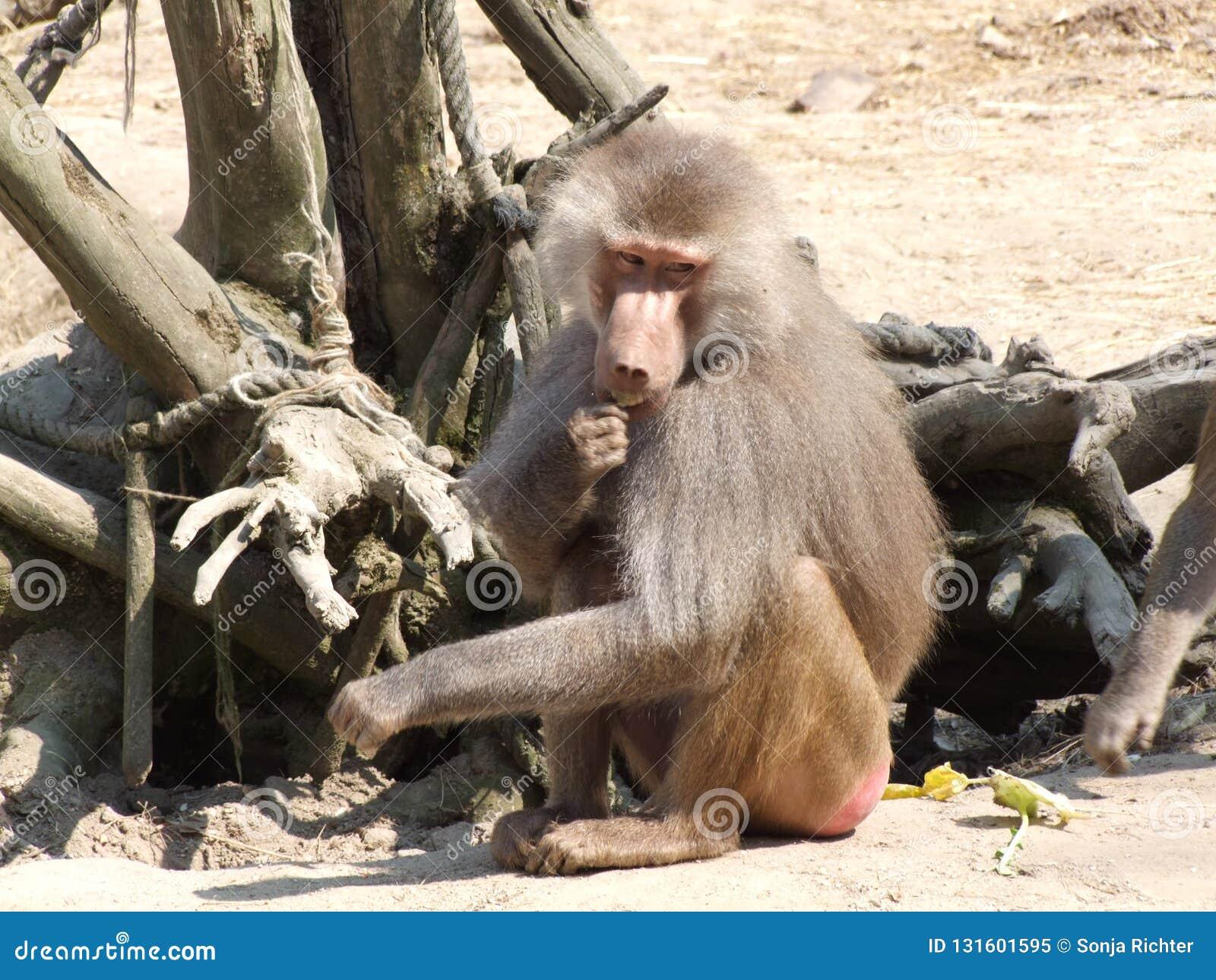Scimmia del babbuino in uno zoo