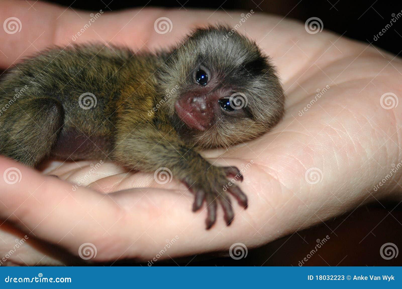 Scimmia del bambino disponibila