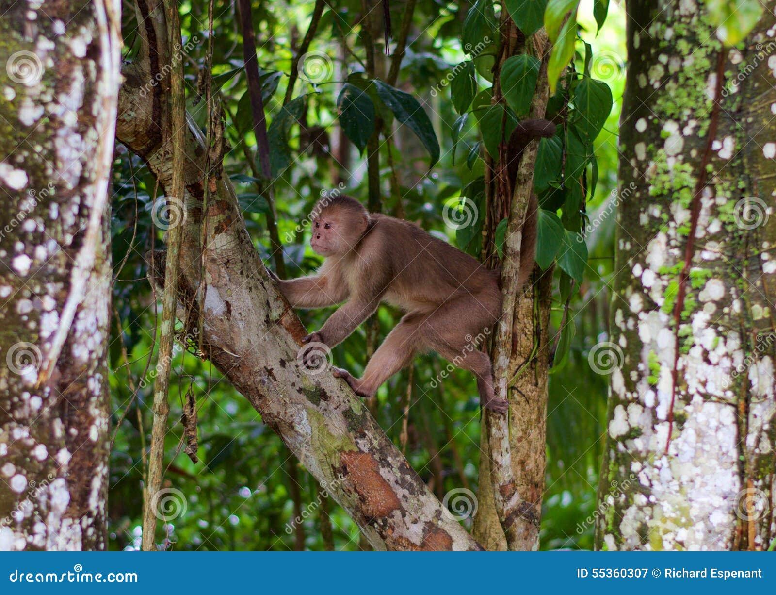 Scimmia del cappuccino