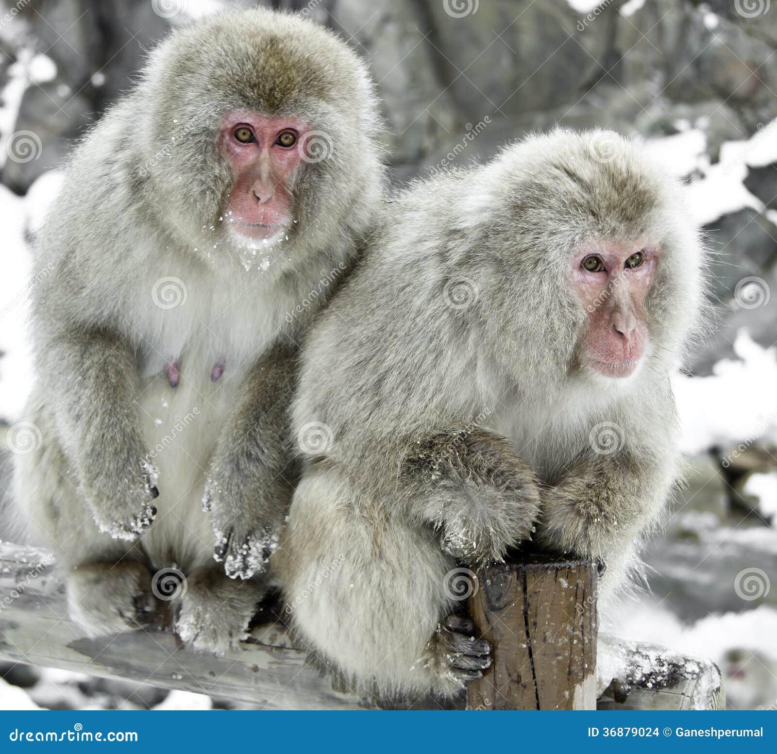 Download Scimmia della neve fotografia stock. Immagine di macaque - 36879024