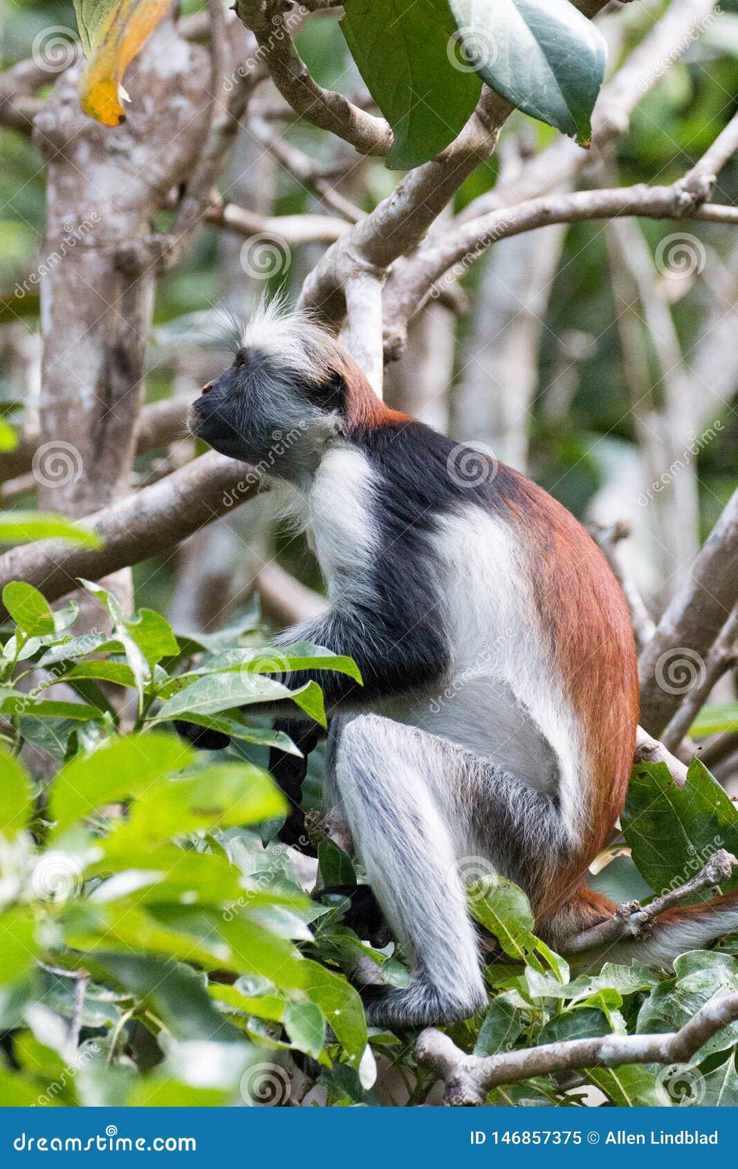 Scimmia di colobus rossa che guarda fisso su nella foresta