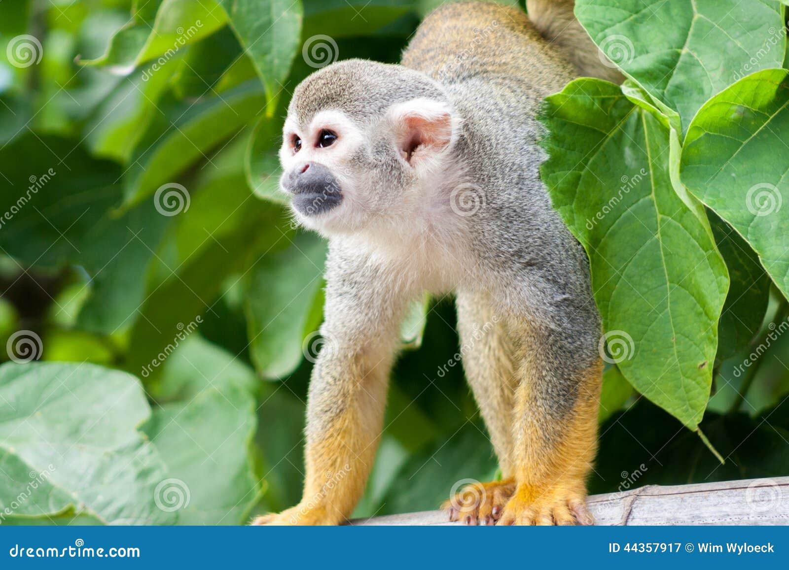 Scimmia di scoiattolo comune