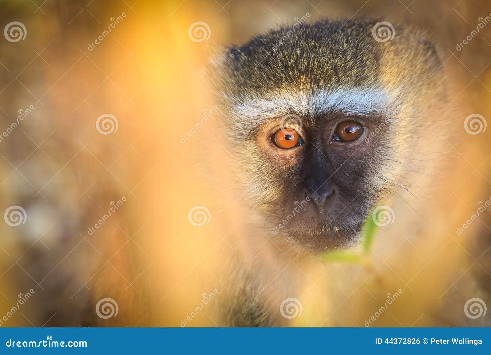 Scimmia di Vervet che sembra sorpresa