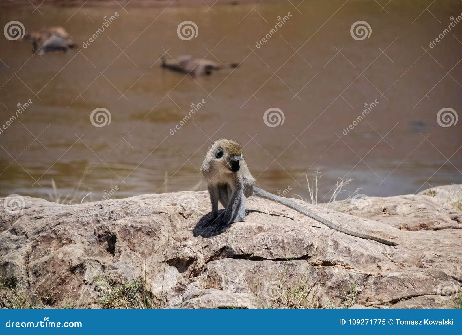 Scimmia di Vervet Maasai Mara National Reservek Kenya
