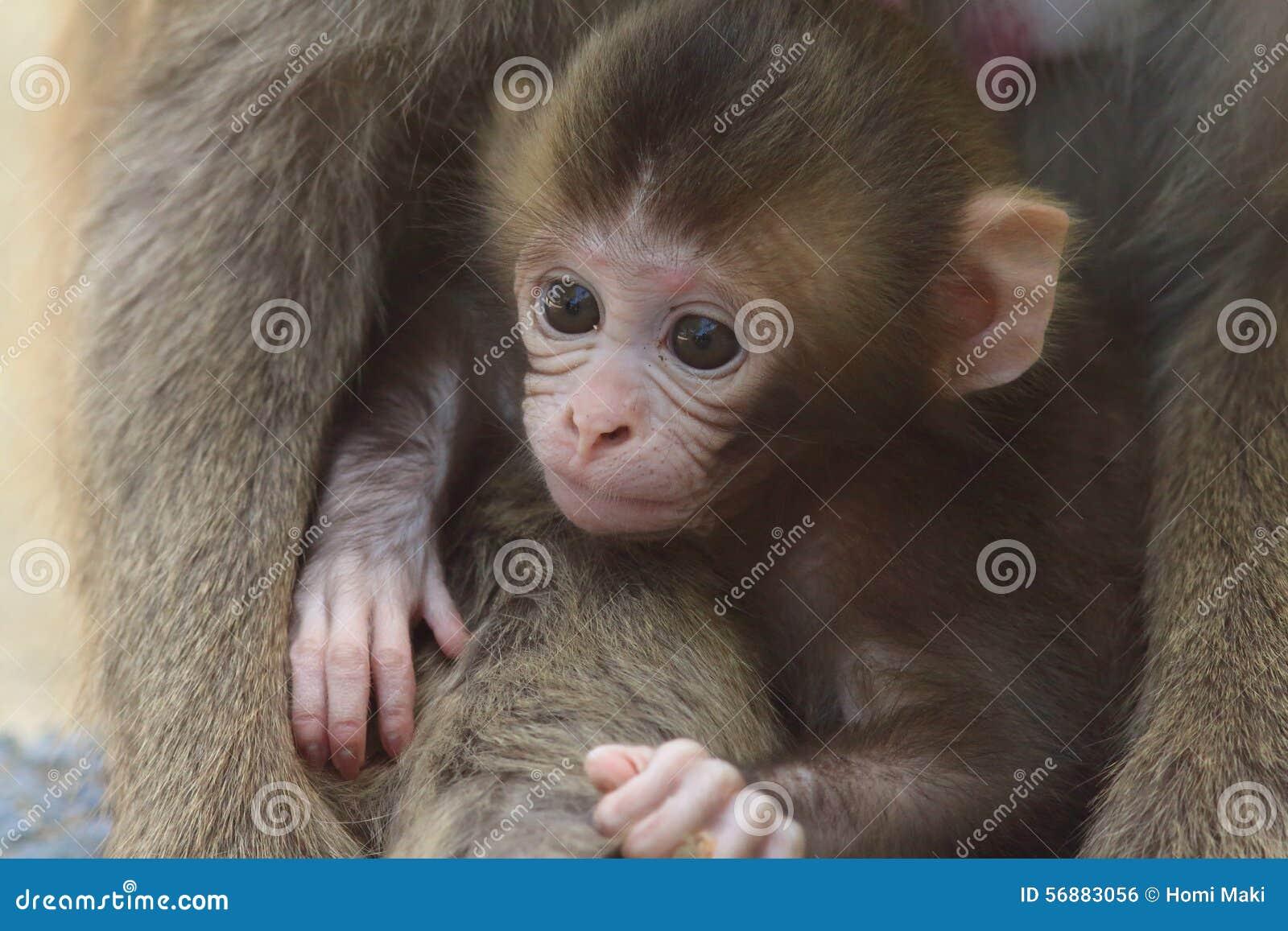 Scimmia due del Giappone