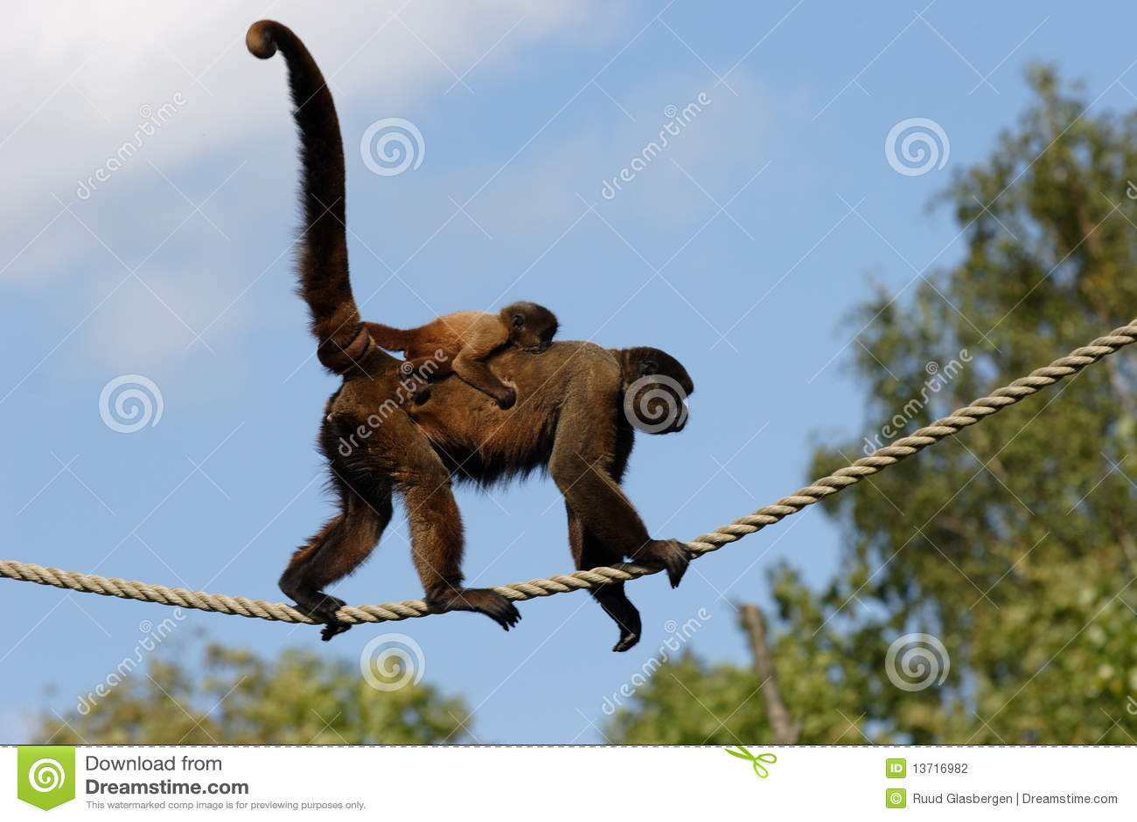 Scimmia lanosa