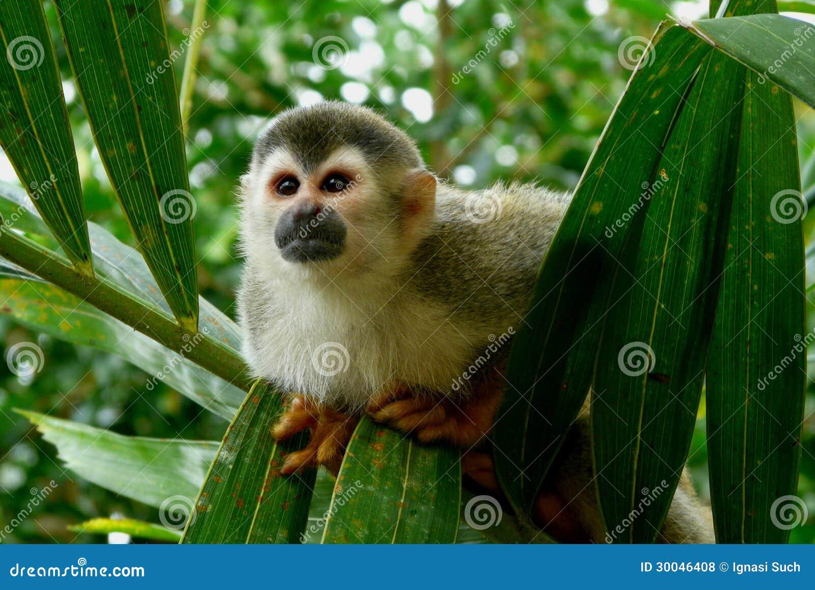 Scimmia scoiattolo nel Costa Rica