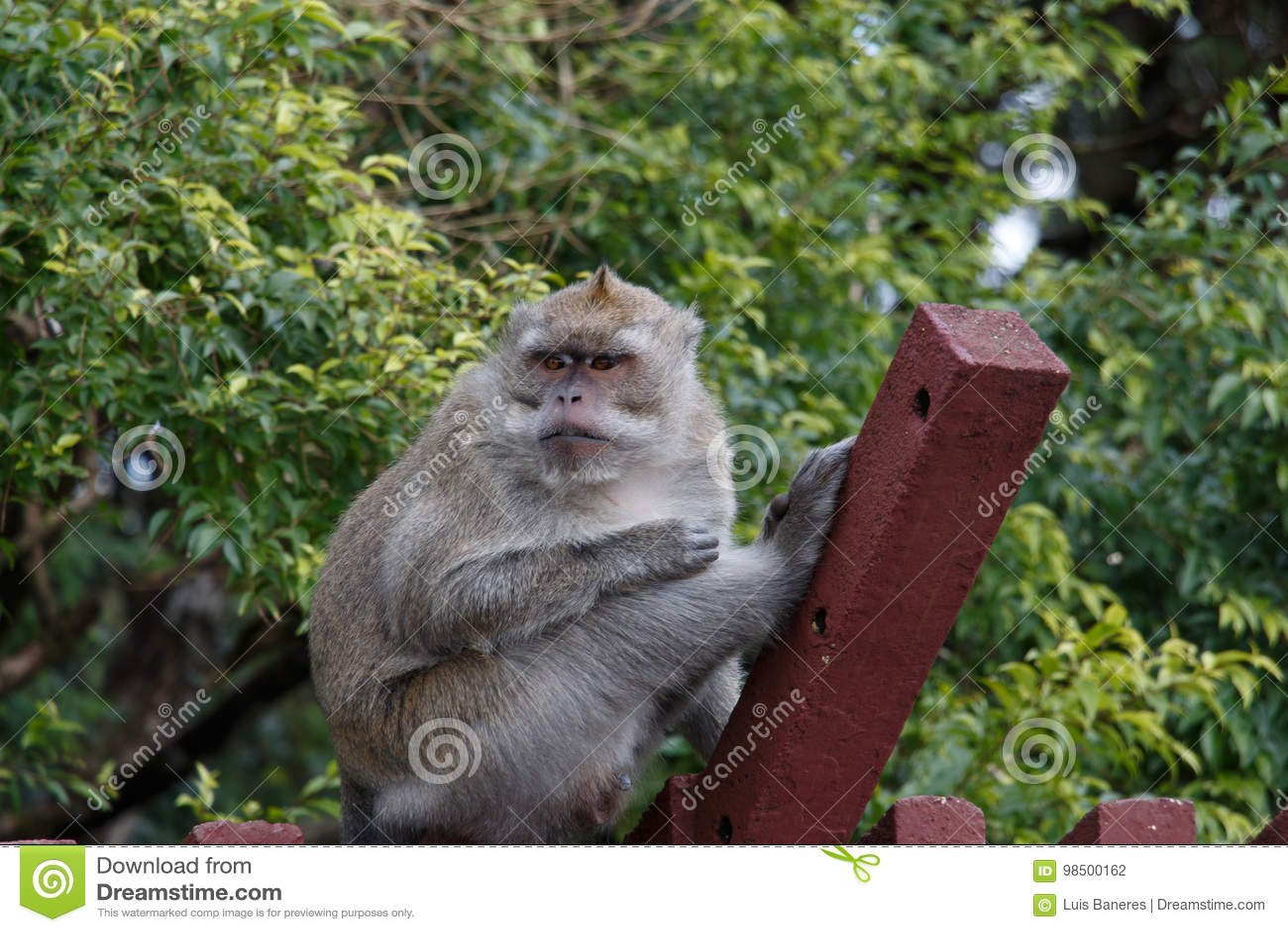 Scimmia selvaggia