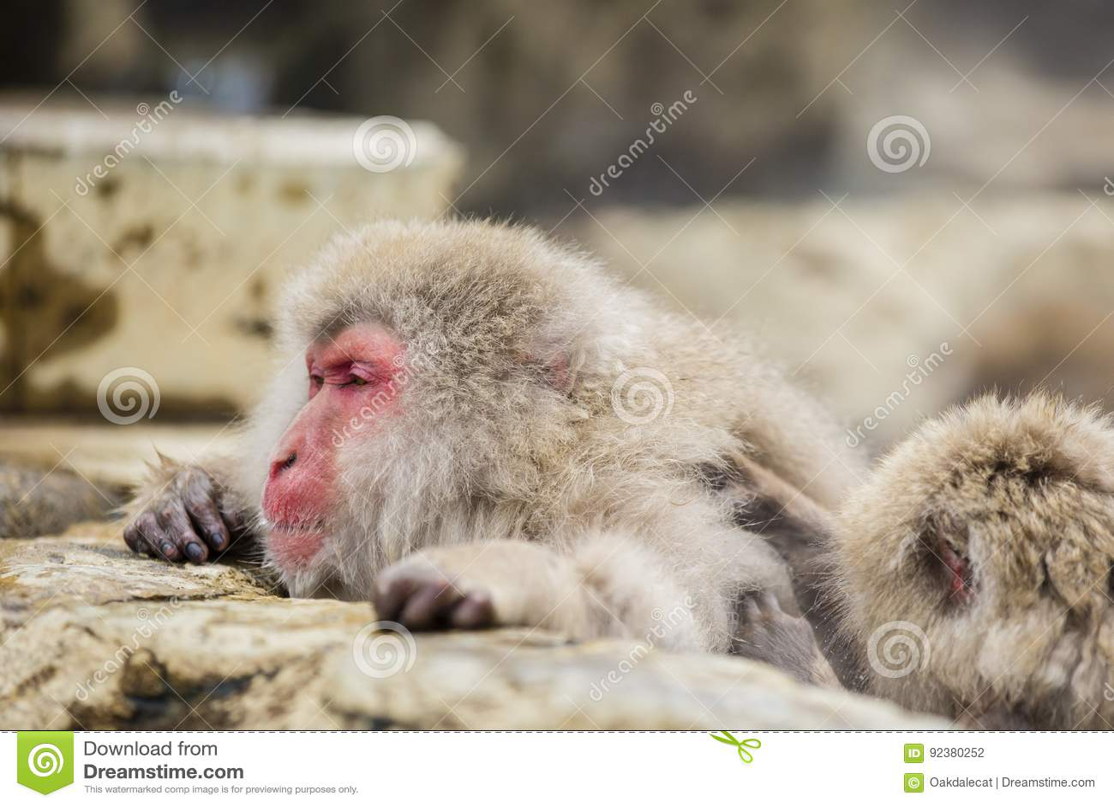 Scimmia sonnolenta della neve