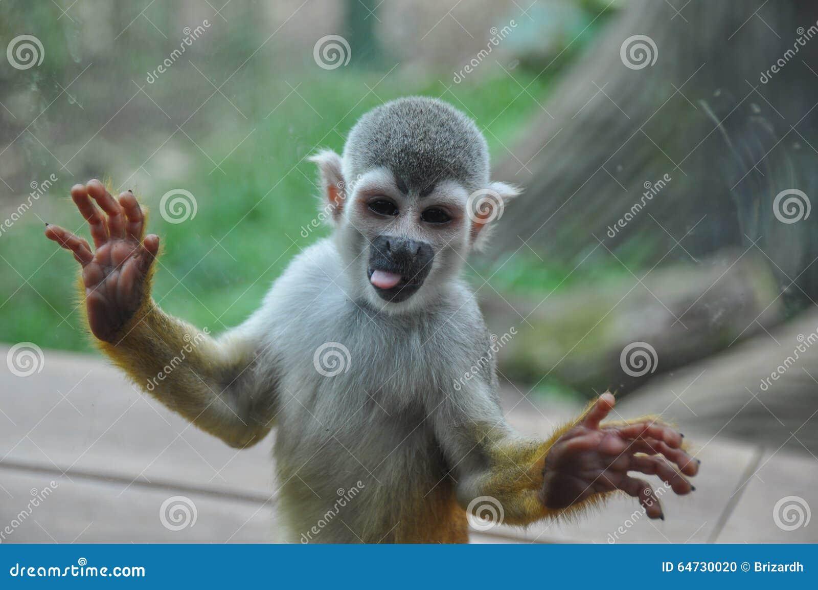 Scimmia sorridente allo zoo, Cali, Colombia