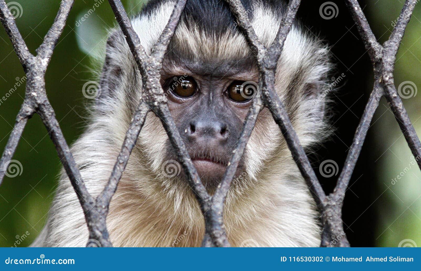 Scimmia triste in gabbia