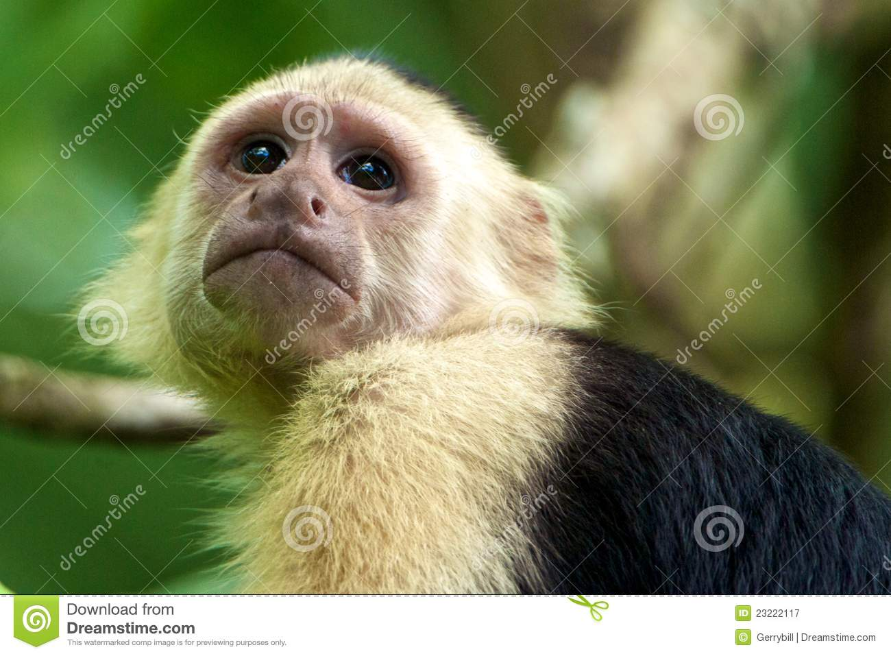 Scimmia White-faced del Capuchin