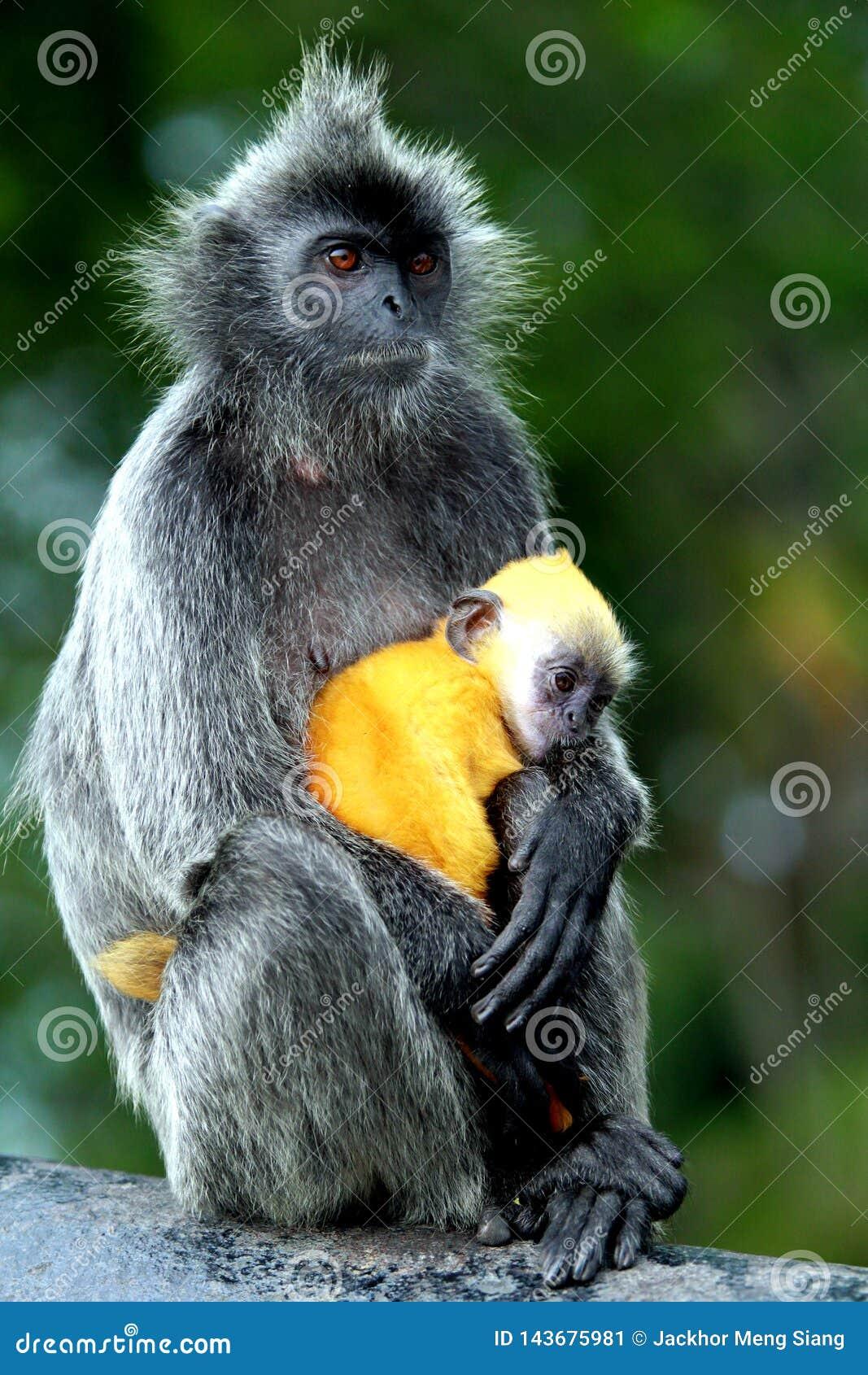 Scimmie della foglia d argento con il bambino arancio di colore
