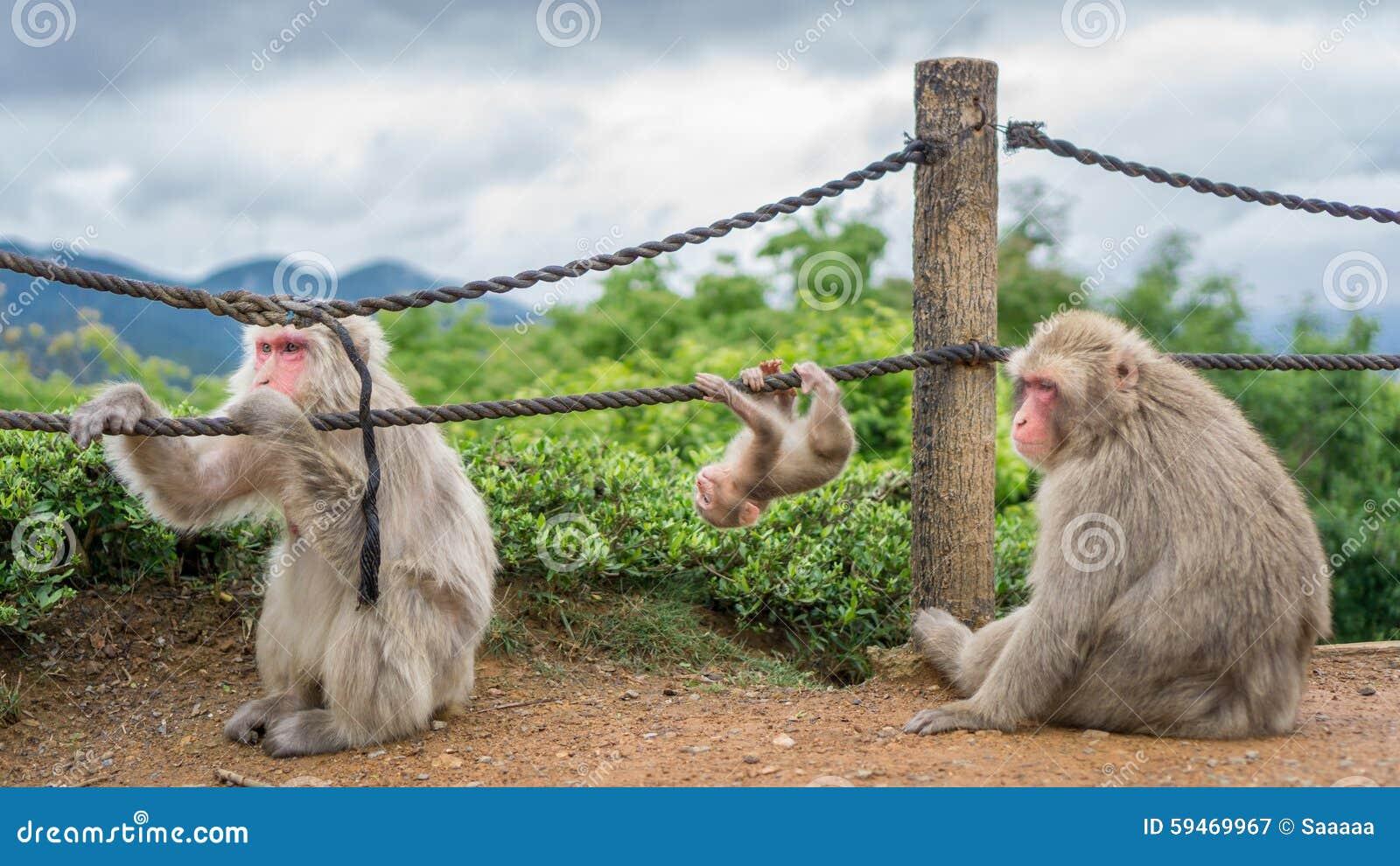 Scimmie in montagna di Arashiyama, Kyoto