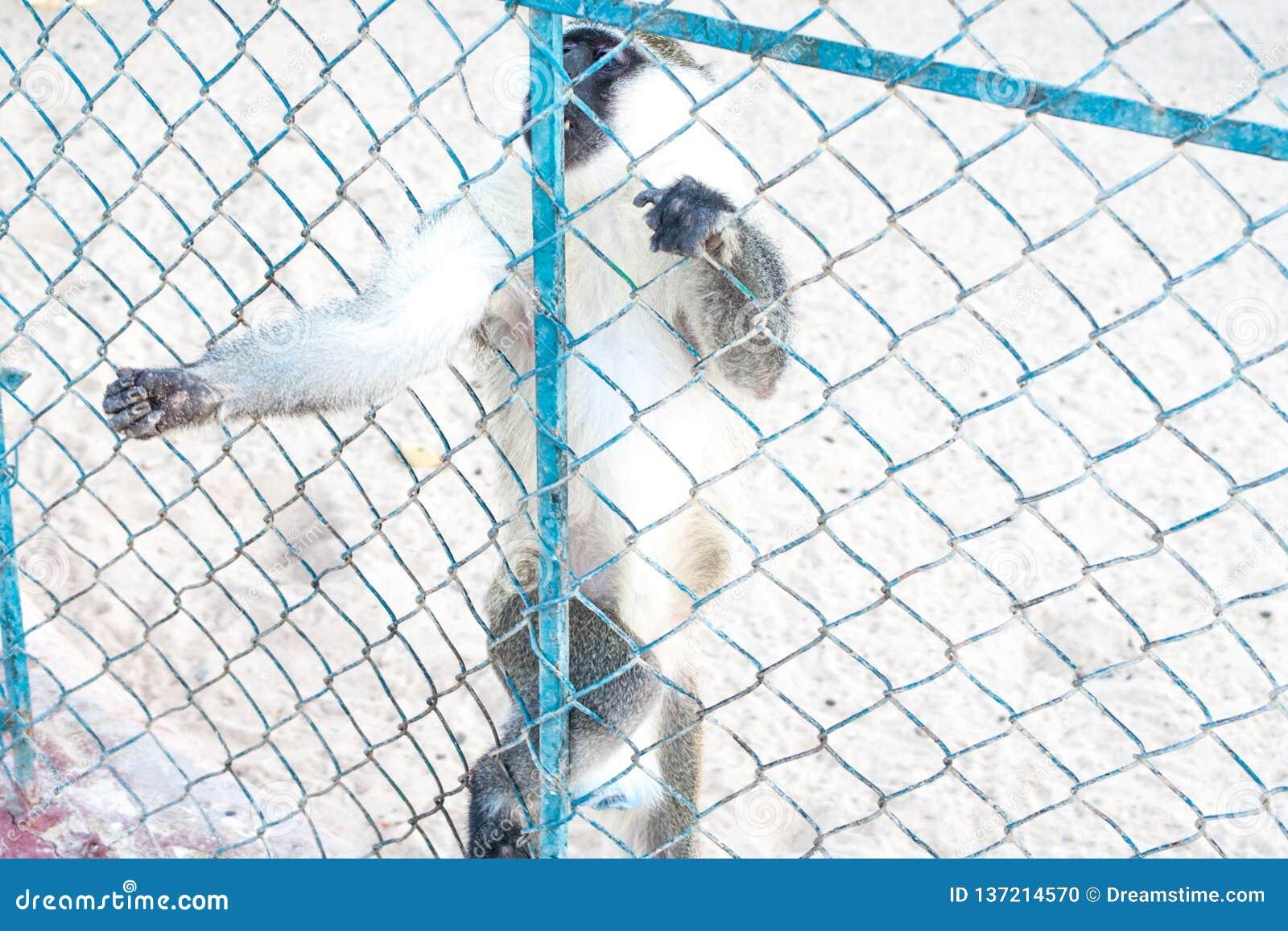 Scimmie tristi nella gabbia dello zoo Un immagine d annata di due scimmie che sembra abbattute in uno zoo di vecchio stile Zoo de