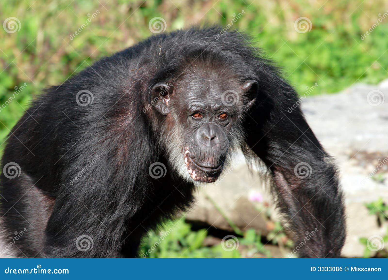 Scimpanzè amichevole