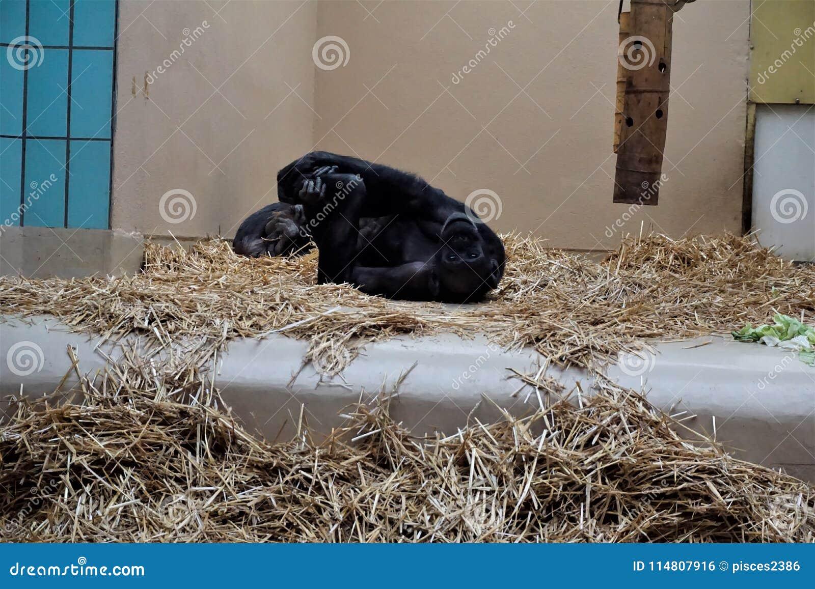 Scimpanzè che allunga nella paglia che sembra divertente