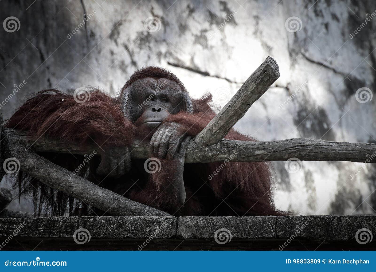 Scimpanzè con il fronte triste